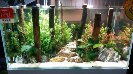 人家把树林搬进鱼缸了,香槟木草缸造景,就是这么有腔调