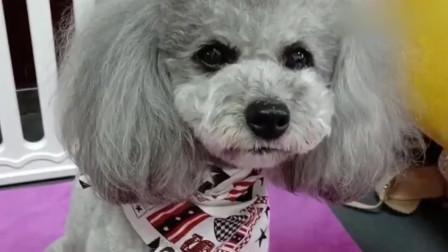 狗狗演示自己如何泡妞的,它一阵连说带比划,原来这么简单呀