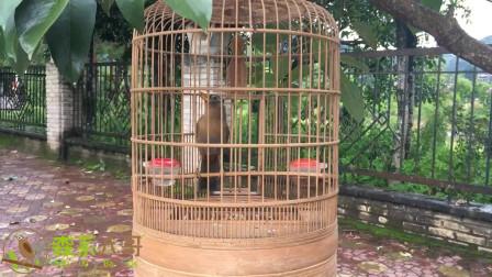 唱歌这么好听的画眉鸟,看完我也想养一只!