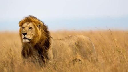 流浪雄狮入侵狮群,老狮王不敌,小狮子被杀死