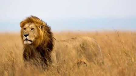狮群大战长颈鹿,长颈鹿施展出腿功,真是厉害极了