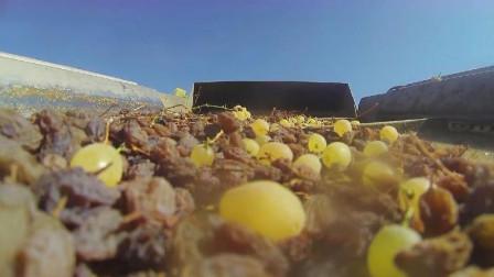 葡萄干吃前要不要洗?镜头记录生产全过程,看完就有答案了