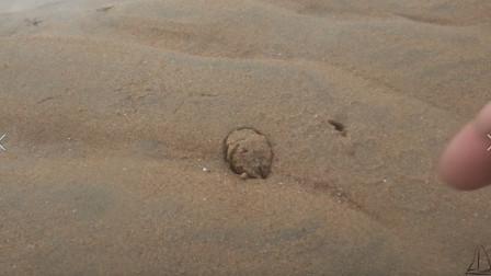 小伙赶海遇到好多大风刮上来的象拔蚌,而且沙包挖的也很过瘾