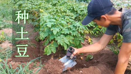 [闪电园艺]土豆播种到采收全过程