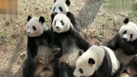 萌宠:大熊猫排排坐,等着奶妈发苹果,它们等的叽叽歪歪的叫