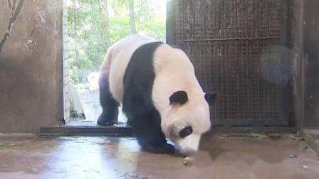 """杭州:大熊貓""""成就"""" """"雙好""""迎5周歲成年禮 月底回老家成都"""