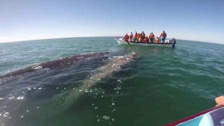 鲸鱼母子向人类求救,身上满是密密麻麻的伤口,让人泪目