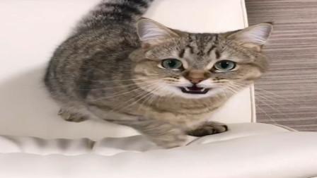 铲屎官不陪猫咪玩,短腿猫直接叼走主人杯中的吸管,太萌了,哈哈
