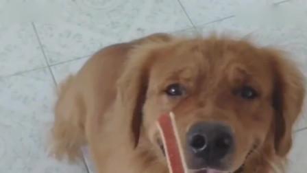 主人骗狗狗说它吃的肉有毒 狗狗吃完直接倒地装中毒 演的形象逼真
