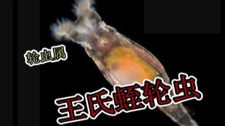 洄水王老师 热带鱼 观赏鱼 繁殖技术 轮虫简化版