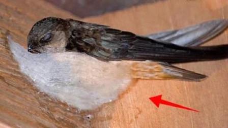 燕窝真的是燕子的口水吗?了解真相之后,你还敢吃吗