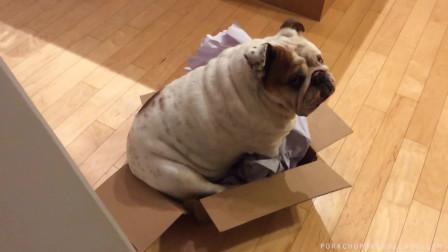 斗牛犬一副生无可恋的样子坐在小纸盒子中:就不能换个大点的吗