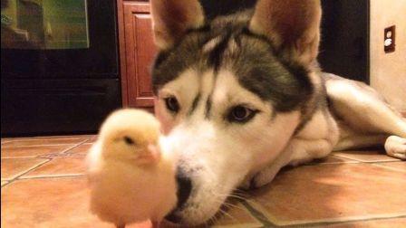 這只小雞看起來很好吃的亞子