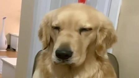 萌宠:宾利坐椅子上等铲屎官给它做饭,困了也不下去睡觉,这是有多馋