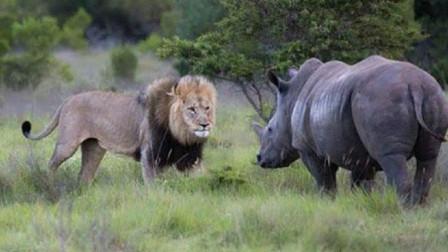 """狮子想""""偷鸡"""",犀牛看到后怒不可遏"""