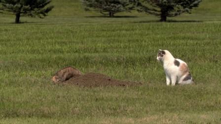 猫咪VS黄鼠狼,对视几秒后,结果却让人哭笑不得!