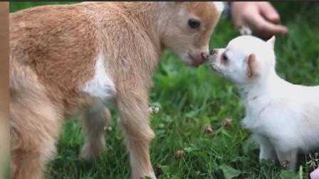 吉娃娃和小羊羔,两只超级软萌可爱的小动物,双萌组合萌到爆