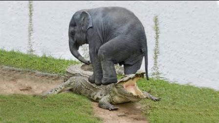 这鳄鱼胆子真大,跑上岸来追着大象咬