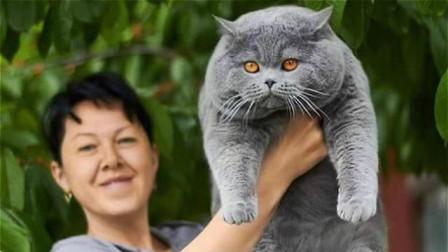 """蓝猫因肥走红网络,十个月胖至30斤,完美战胜""""猫界最胖""""大橘"""