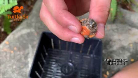 巨头蛋龟苗子到家饲养注意事项和如何发色「龟谷鳖老」