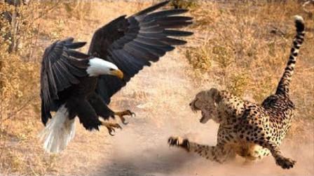 豹子爬树竟这么厉害,上树直接扑咬老鹰