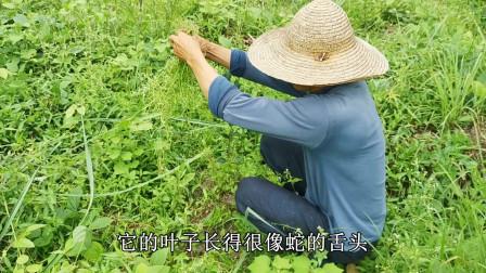 老农在荒田里拔一种草药,客家话叫做白花蛇舌草,非常的稀少了!