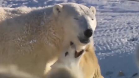 主人出动猎狗出去捕猎不小心碰到了北极熊凶多吉少