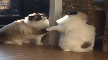 两布偶猫抢漏食球玩,瞧它们这攻防技术,果然球技还是蛮专业的嘛