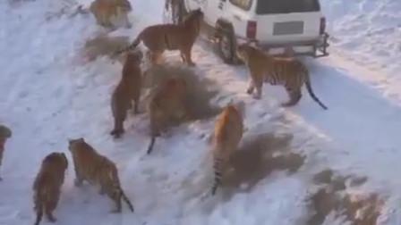 车子被老虎包围,机智司机赶紧丢出这个东西,才救了自己移一命