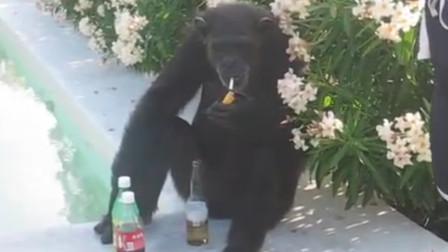 猩猩失恋了,坐在地上喝闷酒,旁人走上前递了一包烟