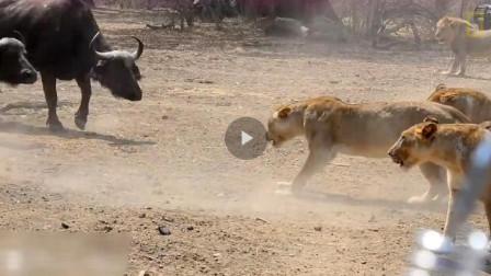 1225公斤的牛, 可是说是世界上最大的牛,老虎看见它都掉头走!