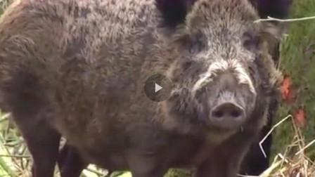 男子在野外看见一只500斤的野猪,抓住直接解剖肚子,可是下一秒直接跑开!