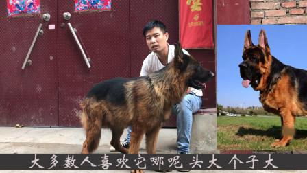 赛级德国牧羊犬和锤系德国牧羊犬大对比,你喜欢哪种?