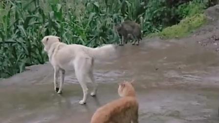 狗狗幫橘貓打架,被貍貓打成重傷,橘貓在冷眼旁觀,太過分了