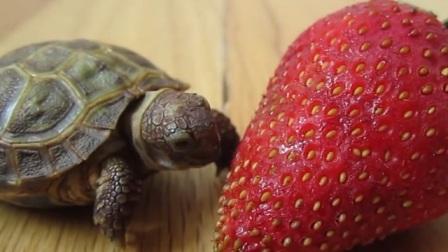 吃货眼里没有放弃!小乌龟一口一口吃草莓,网友:好想上去帮它一把