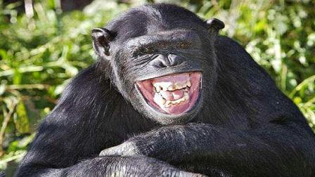 自从给公猩猩配了母猩猩以后,就没有消停过,你们看还有救吗?