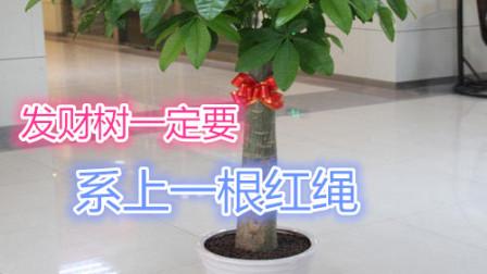 住宅吉祥物:发财树为什么要系上一根红绳?