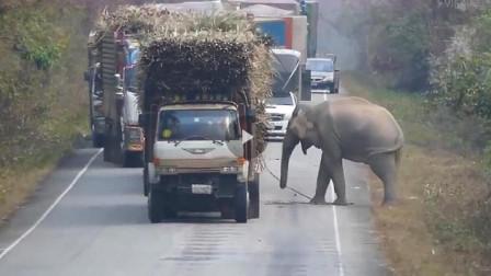 大货车被大象逼停,司机看出大象想吃香蕉,之后司机的举动让人心头一暖!