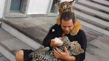 老虎看见豹子躺在饲养员怀里,瞬间就不开心了,直接趴在饲养员背上!