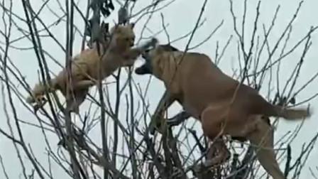 猫狗大战,两条狗把猫逼到树上了