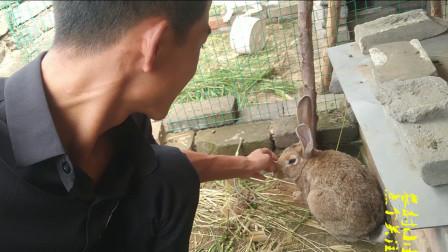 农村小超:苜蓿草开花了,小超为什么不割下来喂兔子呢?进来看看