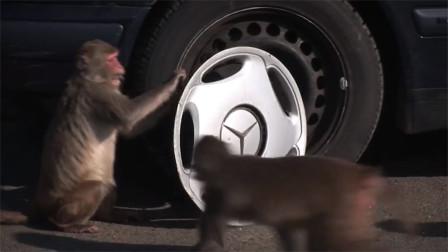 在动物园内随意停车,猴子抢完东西还拆车,心疼车主几秒
