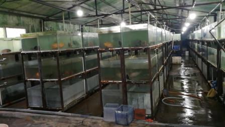 鱼场淘汰的观赏鱼,堆满了房间,看到热带鱼的样子,我是不会养的