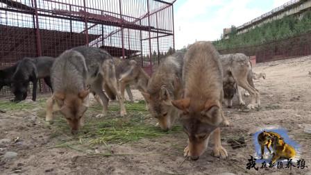 养狼人用草来喂狼?狼群吃得津津有味,你觉得养狼人这样做对吗?