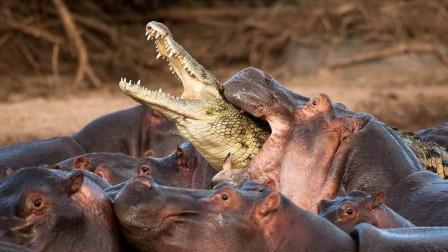 第一次觉得鳄鱼好可怜,一不小心进入河马的领地,简直痛不欲生