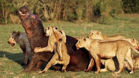 3吨重河马惨遭18只非洲狮子捕杀,无路可逃只好拼死一战!