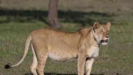5只狮子围攻1400公斤非洲水牛 大战5小时被公水牛干累倒