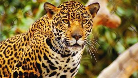 豹子狮子好不容易捕获的猎物却被非洲土著人轻易就抢夺走了