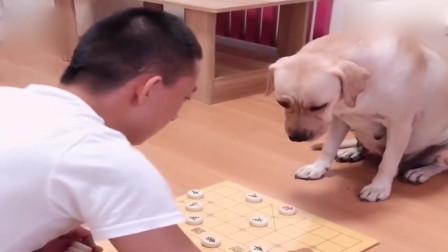 主人拿出棋盘让狗狗陪自己玩,狗狗:没点技能狗也不好当,太难了