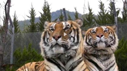 老虎看见东北虎直接被吓趴,这就是东北虎的气场,镜头拍下全过程!